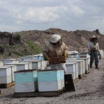 Bees swarm as workers inspect the hives
